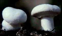 Control methods on pests and disease of organic mushroom