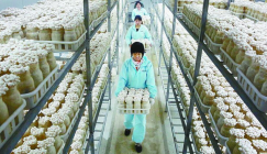 Briefly talk about the industrialized production of mushroom industry