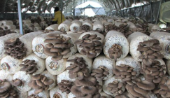 Why Oyster mushrooms grow so tardy?