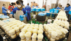 The intellectualized production technology of Enoki mushroom