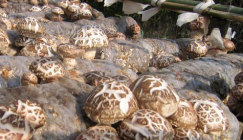Integrate with industrial poverty alleviation policy and vigorously develop Shiitake cultivation