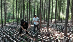 Under-forest Black fungus cultivation garners the gross output value of over 7 million CNY