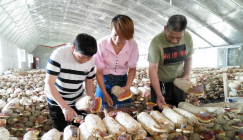 The county successfully introduced the cultivation of herbal-medicine Ganoderma