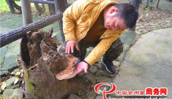 Giant butterfly-shaped Ganoderma might draw your eyes