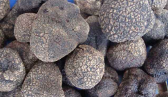 Artificial Truffle cultivation achieves prominent breakthrough