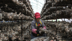 Hebei Province of China: Scale of mushroom base ranks China's first place
