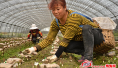 Sichuan of China: Morels are about to pay a visit abroad
