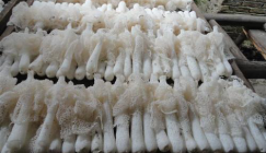 Large-scale Bamboo fungus cultivation is formed in Yihuang County, Jiangxi