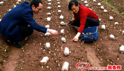 Morels which passed trial cultivation are sold overseas