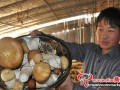 Stropharia rugosannulata cultivation is settled as the poverty-alleviation industry
