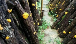 Golden fungus is becoming a nutritional star
