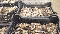 Drumstick mushrooms cultivated via waste materials of Shiitake are coming into season