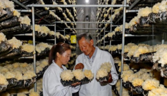 Trial cultivation on new variety of White fungus achieves its success