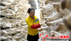 King oyster mushroom production opens the umbrella of poverty removal