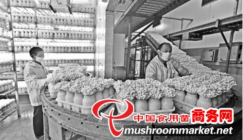 Superior industrialized White beech mushrooms enter into oversea markets