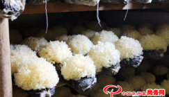 Standardized production propels the upgrading and transformation of mushroom industry