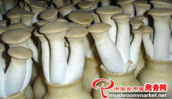 Bottle-mode King oyster mushroom production is turning to automatic pattern