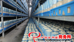 High output on Enoki mushroom production is realized in summer in modernized factory