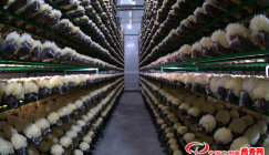 Industrialized White fungus workshop that hits annual output value of 1 billion CNY debuts
