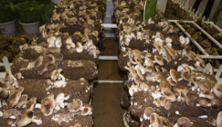 Different raw materials play diverse roles on Shiitake cropping