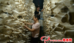 Hebei Province: Agricultural wastes boost mushroom production and open up a rich future