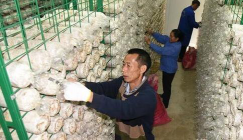Mushroom cultivation widens growers path for growing rich