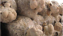 Management technology on fruiting of Hericium mushroom