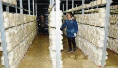 Pleurotus geesteranus farming provides weapon for poverty removal