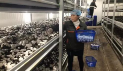 Button mushroom picking reaches its peak time in Jiangxi Zhongtian Modern Agriculture Co., LTD.