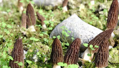 Now it is the fruiting time of Morel mushroom in 20,000 mu of area in the county