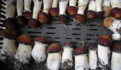 Hubei Baishazhou Market: Analysis of Mushroom Price