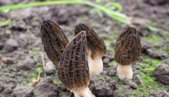 From wild growing to artificial cultivation, Morel mushrooms open rich door for growers