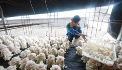 Guizhou Guifu Mushroom Company: It is the harvest time of Auricularia nigricans