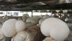 How to prevent and control fruiting bodies of Hericium mushroom from turning red and yellow?