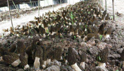 Two key elements that guarantee the success of Morels cultivation in early spring